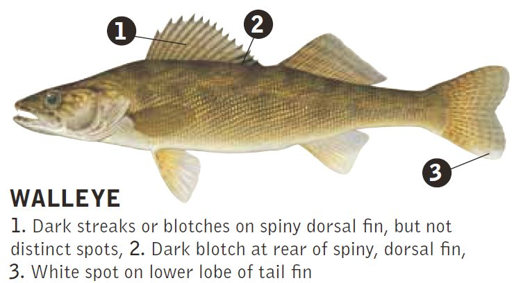 Kentucky department of fish wildlife general information for Ohio state fish