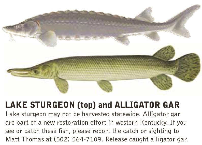 lake sturgeon and alligator gar