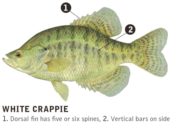 Pics for white crappie fish for Crappie fish facts
