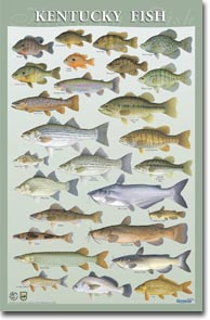 Kentucky Fish poster