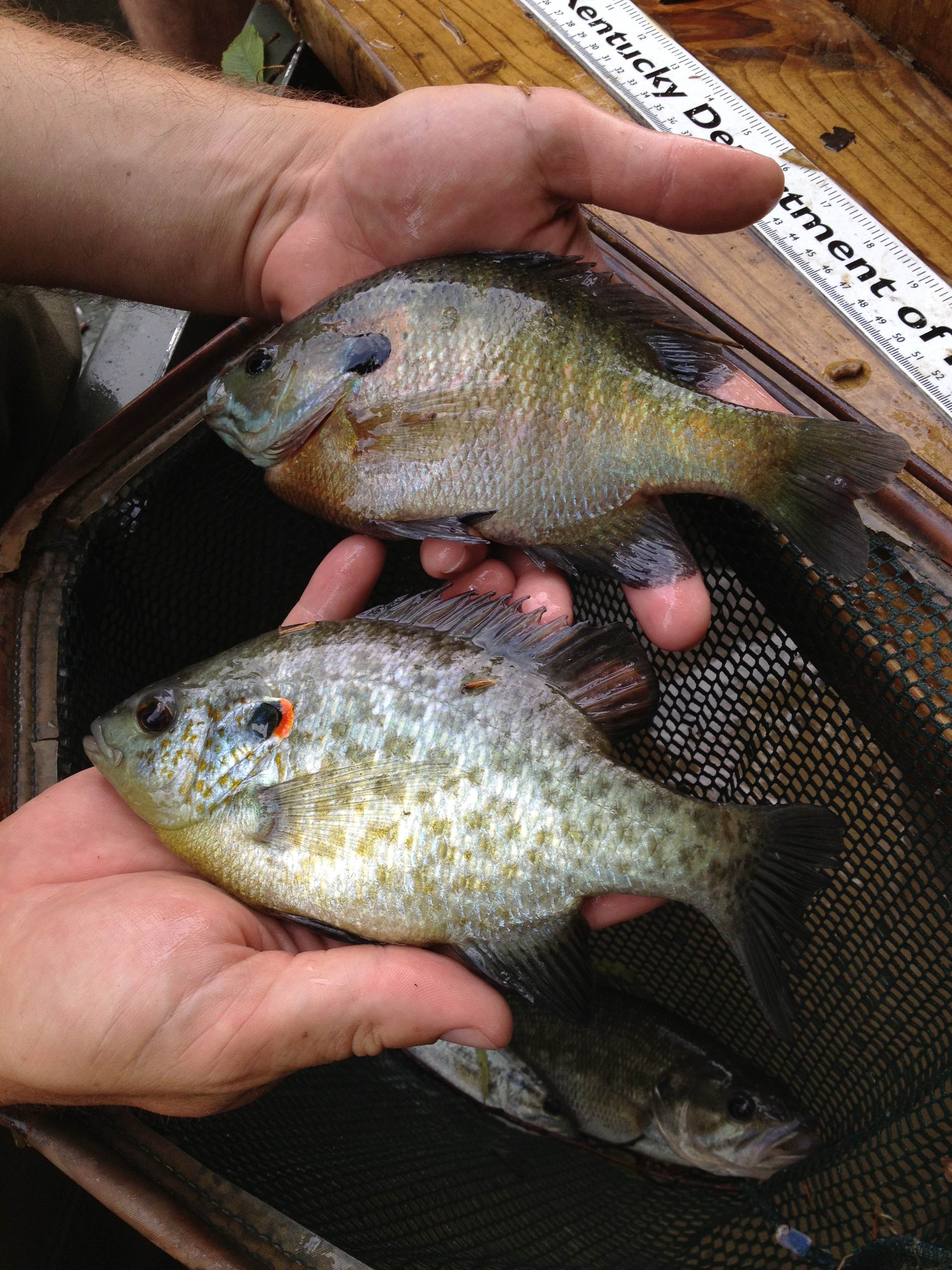 Green River provides anglers with a variety of species to target which including bluegill (top) and redear sunfish (bottom).