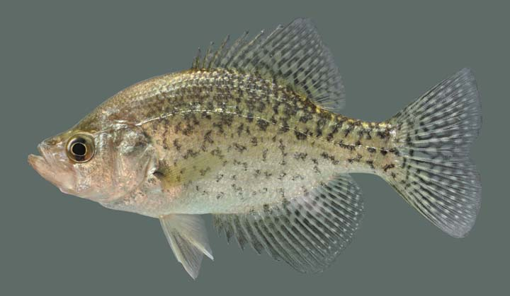 Kentucky department of fish wildlife black crappie for Crappie fish facts