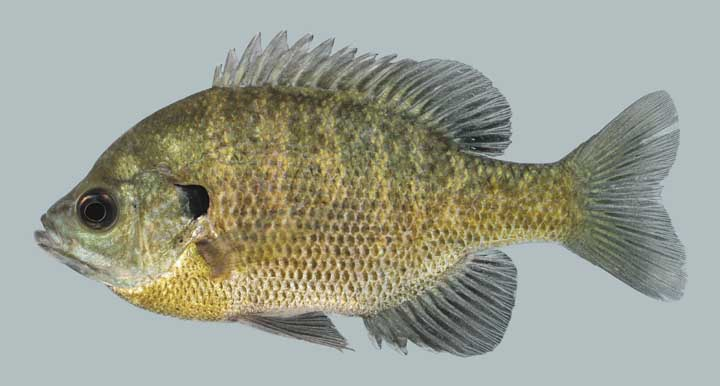 Kentucky department of fish wildlife bluegill for Ky fish and wildlife