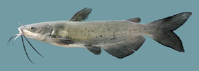 Channel Catfish catfish What is a catfish? Channelcatfishthumb blue catfish Channel Catfish – (Ictalurus punctatus) Channelcatfishthumb