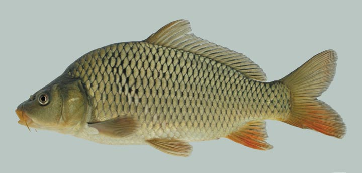 Kentucky department of fish wildlife common carp for Carp fish pictures