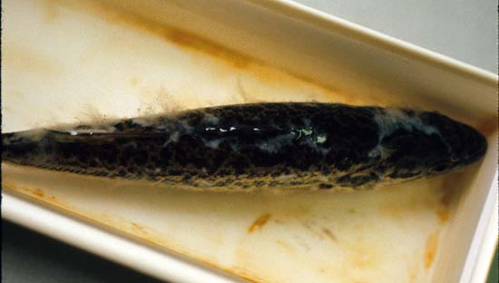 Kentucky department of fish wildlife troubleshooting for Fish fungal infection