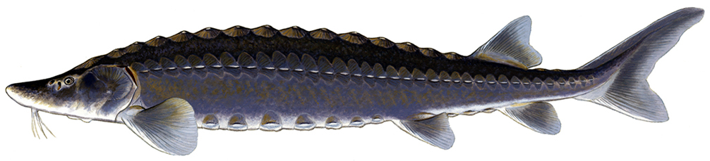 Adult Lake Sturgeon