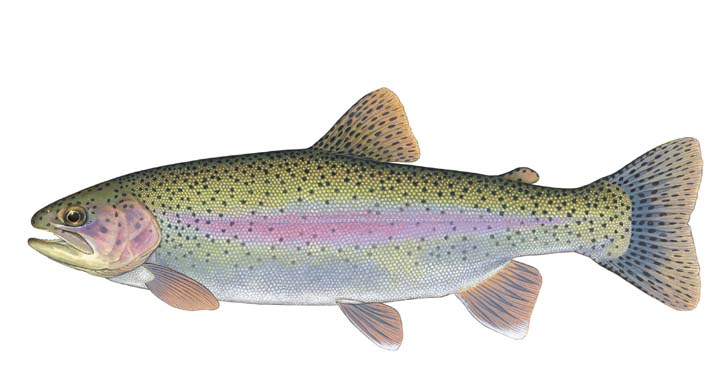 promo code e7383 c67ef Identification  The Rainbow Trout has a streamlined body, an adipose fin,  and large mouth with an upper jaw that barely extends beyond the rear  margin of ...