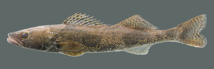 Kentucky Department Of Fish Amp Wildlife Sauger