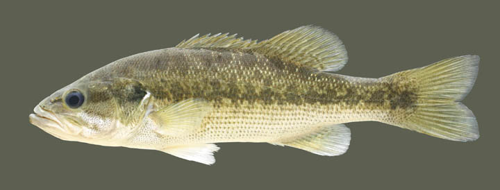 Kentucky Department of Fish & Wildlife Spotted Bass