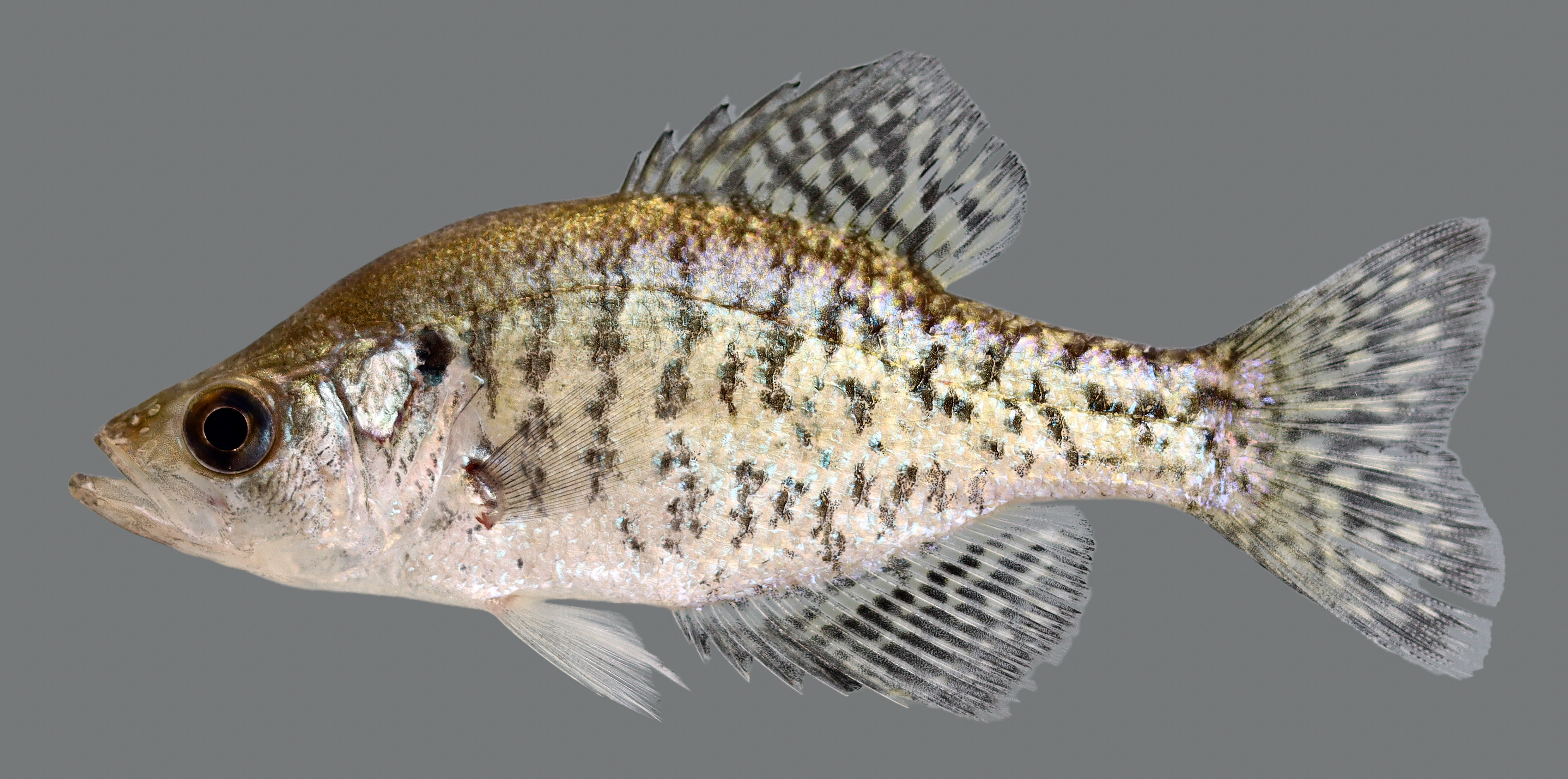 Kentucky department of fish wildlife white crappie for Crappie fish facts