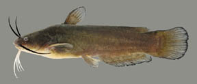 Yellow Bullhead catfish What is a catfish? YellowBullheadthumb