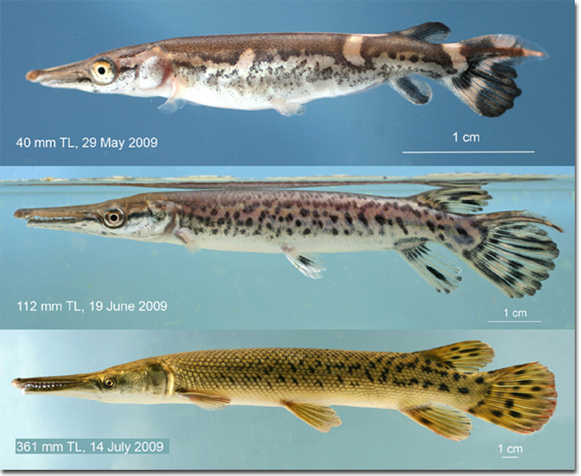I 39 m back with another gar related pic aquariums for Gar fish pictures