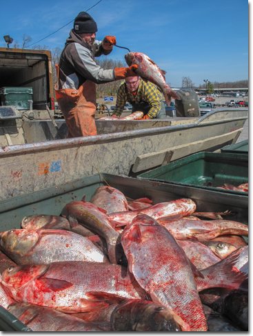 Fisherman unloading Asian carp from his boat into the shipping totes.