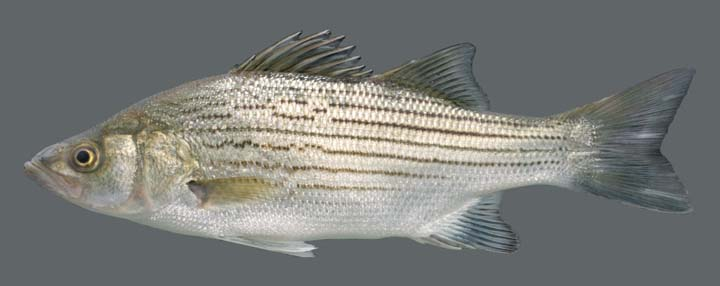 white bass vs striped bass