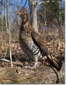 Kentucky department of fish wildlife grouse input for Ky fish and wildlife telecheck