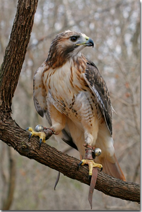 Red-tailed Hawk, Photo by Mike Matthews
