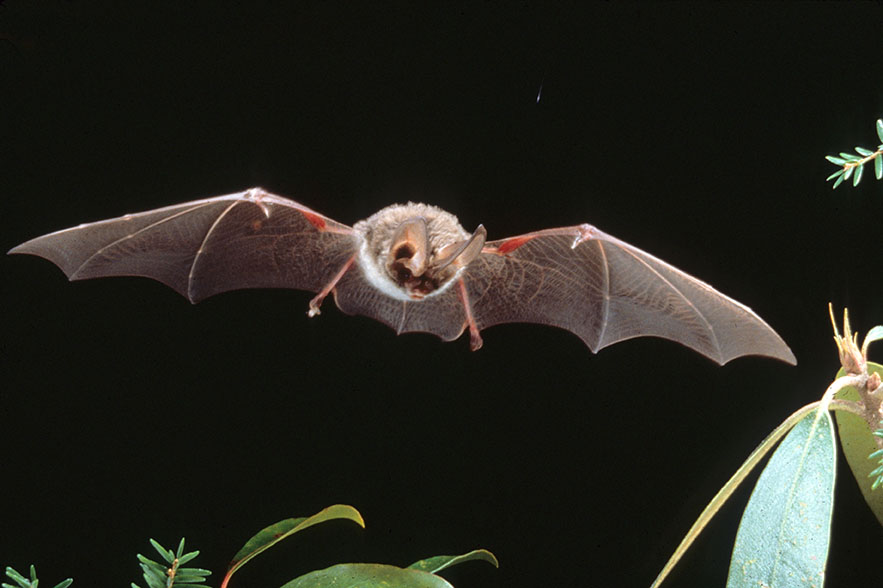 Kentucky Department Of Fish Wildlife Rafinesques Big Eared Bat
