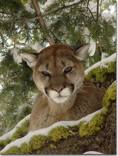 Mountain Lion, Photo Courtesy of Bill Lea