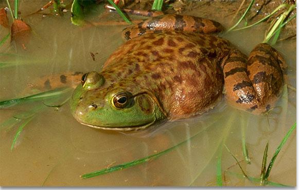 American Bullfrog, Photo by John R. MacGregor