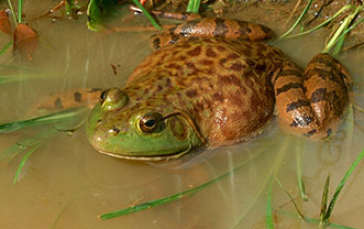 Kentucky Department of Fish & Wildlife Frogs and Toads of