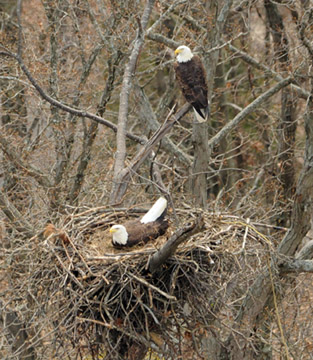 A view of a bald eagle nest from the helicopter during an annual nesting survey