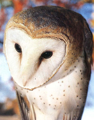 Adult Barn Owl