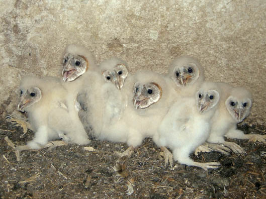 Seven young Barn Owls in a nest
