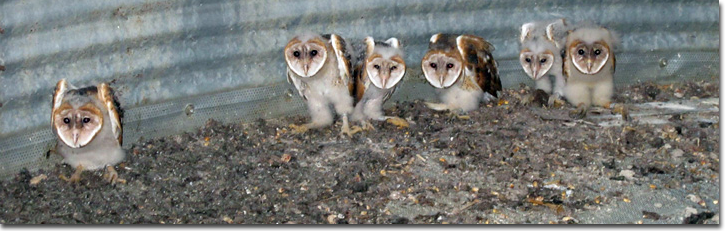 A Barn Owl nest in grain bin containing six young owls.
