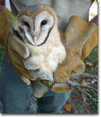 A young Barn Owl at the time of banding.  Photo by: Kate Heyden