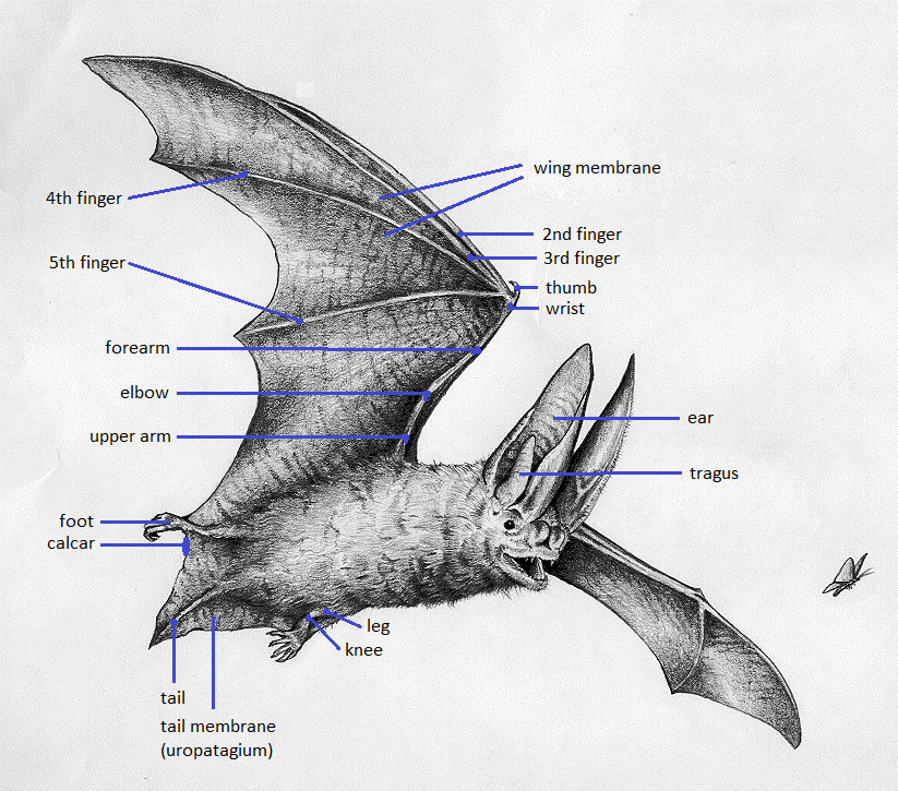 Bat illustration by Rick Hill, KDFWR
