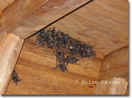 Bats in the home, Photo by Brian Carver