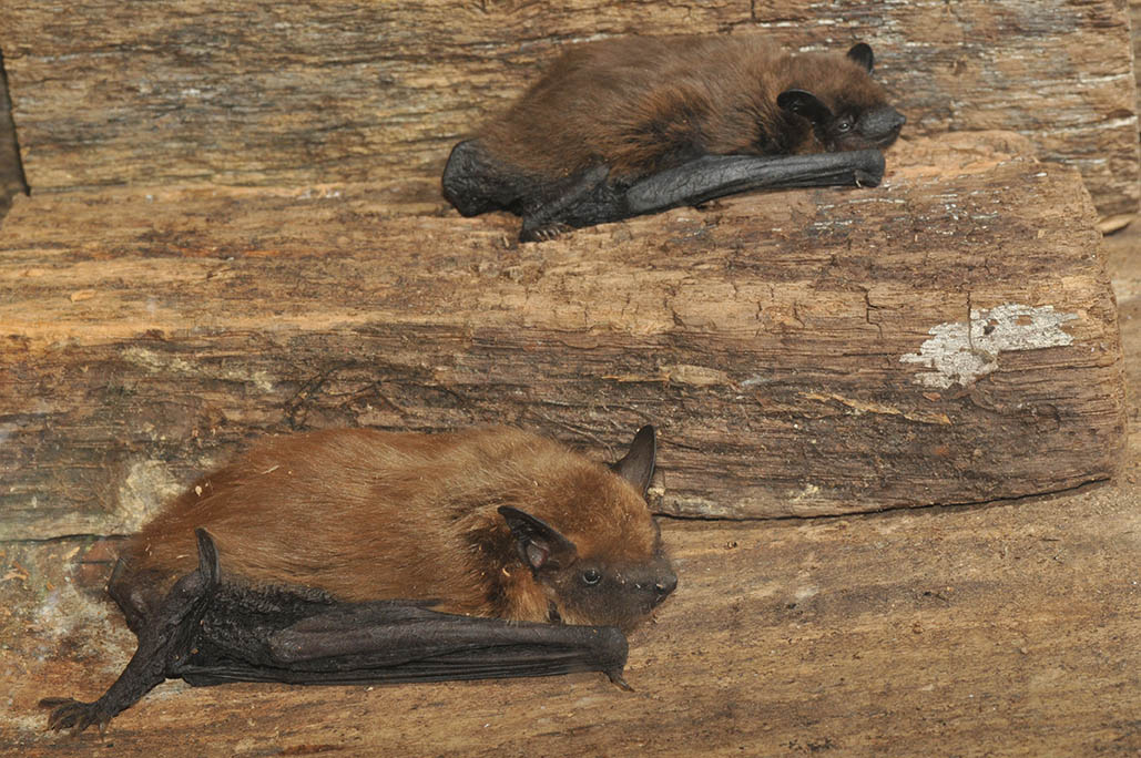 Kentucky department of fish wildlife big brown bat for Ky fish and wildlife jobs