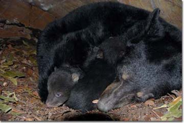 Mother bear and cubs, Photo by Dave Maehr