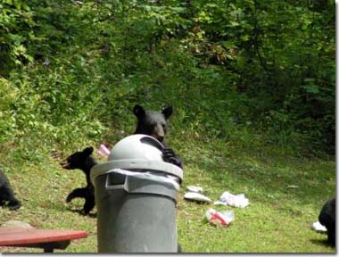 Black bear family in trash, Photo by Dave Huff