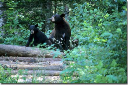 Black bear family, Photo by James Inman