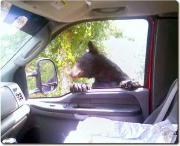 Black bear in truck window