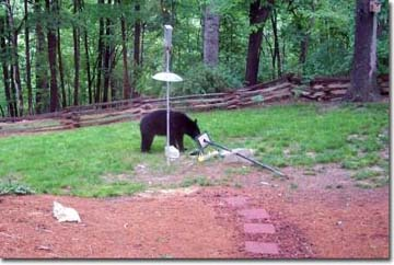 Black bear destroying a birdfeeder