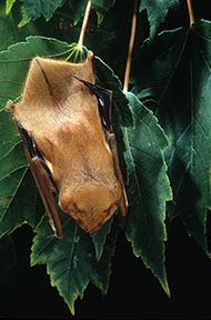 Eastern red bat hanging from tree foliage