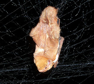 Eastern red bat captured in mist net by Traci Hemberger