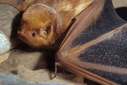Eastern red bat wing contrast