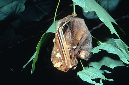 Eastern red bat female with pups