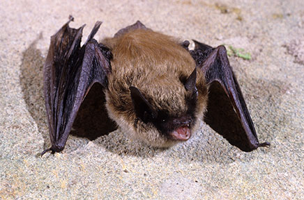 Eastern small-footed myotis