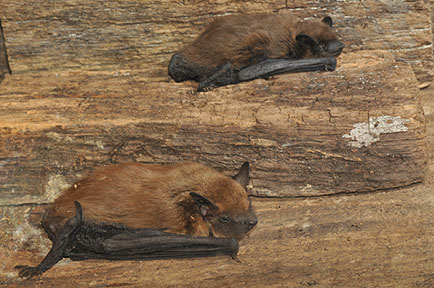 Evening bat (top) and big brown bat (bottom)