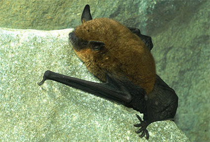Gray bat in summer