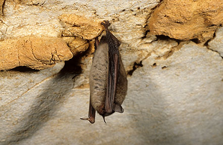 Hibernating indiana bat
