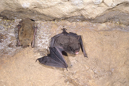 Little brown bat (left) and Indiana bat (right)