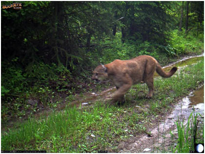 Kentucky department of fish wildlife mountain lions for Ky fish and wildlife