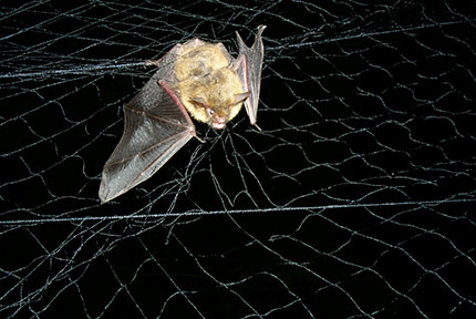 Northern long-eared bat captured in mist net