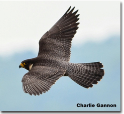 Peregrine falcon photo, Photo credit Charlie Gannon